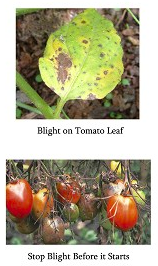 Preparing for Tomato Blight